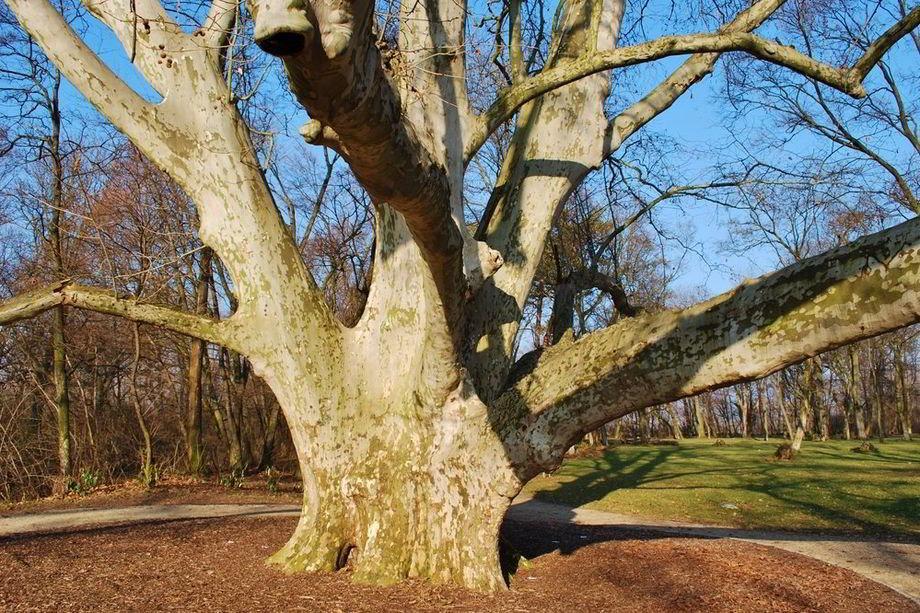 najhrubší strom Slovenska Komjatice