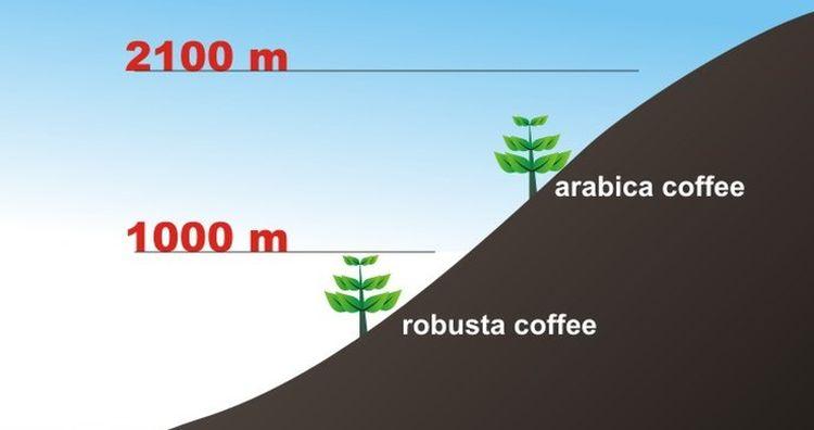 káva pestovanie nadmorská výška