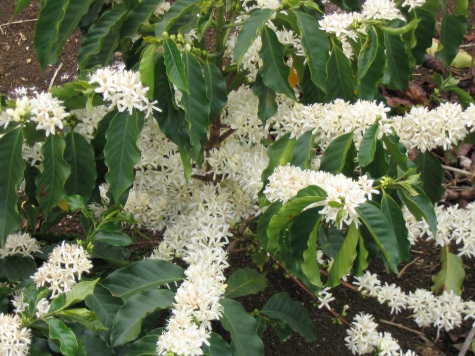 káva kvety