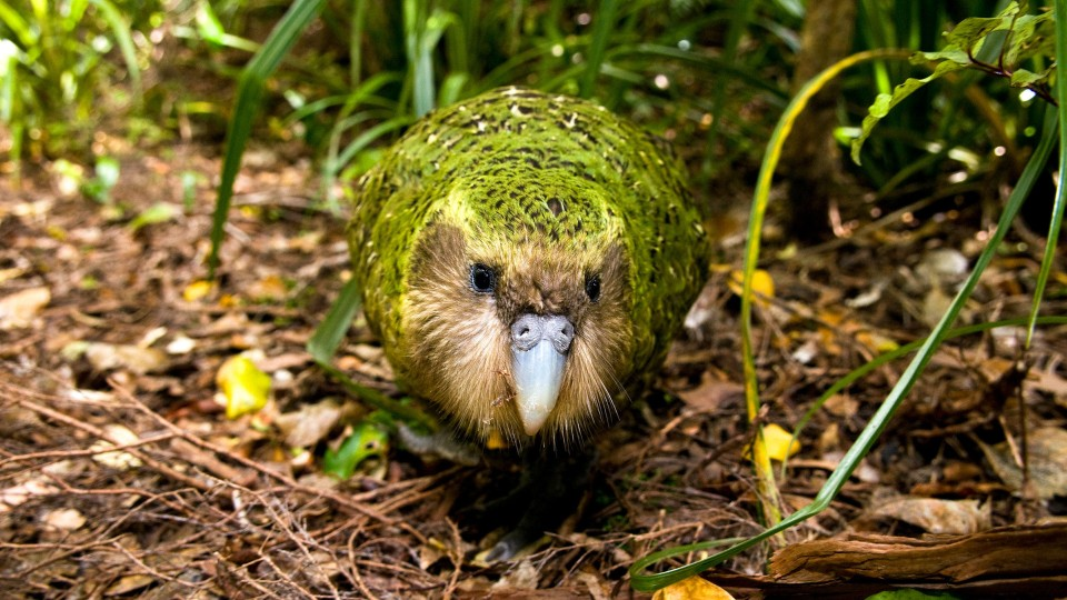 Nočný papagáj, ktorý nelieta ažije sto rokov. Kakapo je jednoducho iný
