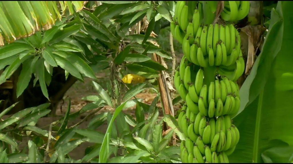 Koniec banánov akoich poznáme?