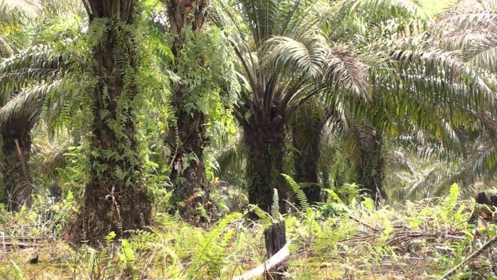Ako súvisí palmový olej, ktorý je súčasťou množstva bežných výrobkov sodlesňovaním tropický lesov Bornea aživotom orangutanov?