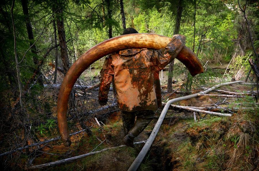 mamutie kly