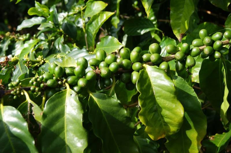 Od semienka pošálku. Poskladajú žiaci príbeh kávy vsprávnom poradí?